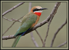 White-fronted Bee-eater (Rainbirder) Tags: kenya lakenaivasha whitefrontedbeeeater crescentisland meropsbullockoides naturesharmony rainbirder