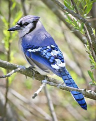 Blue Jay (Cyanocitta cristata) (Photo Patty) Tags: bluejay cyanocittacristata ottawanwr