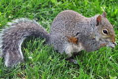 2013-05-19 Eastern Gray Squirrel (02) (-jon) Tags: sanjuanislands anacortes washingtonstate skagitcounty salishsea sciuruscarolinensis easterngraysquirrel fidalgoisland