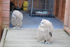 Owl Chicks, Itchy & Scratchy at The Barn at Beal (turbostar171) Tags: chick owl owlet barnatbeal