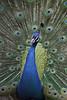 孔雀 (hiro*n) Tags: 鳥 孔雀 羽 カラフル 綺麗 広げる
