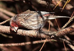 House-finch-non-breeding-male_1866 (Warbler_King) Tags: finches housefinch chicagobirds housefinchnonbreedingmale