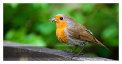 Robin With Fly (Mick Ryan Photography) Tags: bird nature robin ornithology leightonmoss
