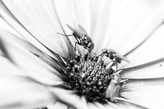 Sharing? :) (Marius Unes) Tags: bw flower macro nikon 3200 vr 105mm d600 24mpx