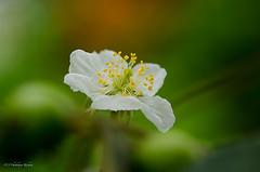 White flower (Chaithanya Krishnan) Tags: park white lake flower macro green nikon sigma whitegreen sigma105mm hebballake chaithanya flickraward macroflowerlovers macrodreams nikond7000 dpsgreen chaithanyakrishnan
