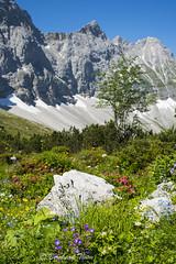 Summer blossom at Falkenhtte N1 (Bernhard_Thum) Tags: summer mountains alps nature sommer natur berge summertime alpen eng tistheseason karwendel carlzeiss zf bockkarspitze sonnenspitze distagont235 nikond800e bernhardthum
