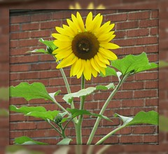 """Keep your face to the sunshine and you cannot see the shadow. It's what sunflowers do."" ~ Helen Keller (ellenc995) Tags: sunflower yellow garden yard summer thesunshinegroup naturallywonderful supershot coth rubyphotographer coth5 fantasticnature friends citrit concordians hennysgardens abigfave challengeclub challengeclubchampion akob thegalaxy 100commentgroup"