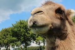 Josephine  Explore # 46 ( 29-8-2013 Thanks !!! (excellentzebu1050) Tags: closeup farm explore camel camels camelus explored animails camelusbactrianus takenwithlove explorewinnersoftheworld panoramafotografico alittlebeauty mygearandme