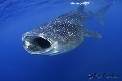 Whale shark (bodiver) Tags: blue shark ambientlight wideangle snorkeling freediving whaleshark fins islamujeres