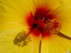 Hibiscus muy  amarillo (juantiagues) Tags: hibiscus juanmejuto juantiagues