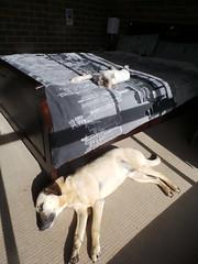 My fur babies sunbathing (Rayya The Vet) Tags: dog pets cat persian feline vet canine sunbathingcat twitter sunbathingdog whippetcross