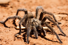 Baboon spider. Harpactira (Edurne S. Vicente) Tags: macro southafrica spider araña sudáfrica invertebrados arácnidos tarántulas
