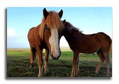 Dalbaer III (Luca Castillo) Tags: horses horse canon island caballo caballos iceland islandia farm granja icelandic dalbaer