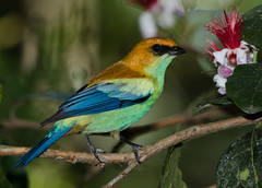Saíra-preciosa (Chestnut-backed Tanager) (Jonatan Vitor Lemos) Tags: bird cara preciosa suja watcher tanager birdwatcher tangara chestnutbacked saíra