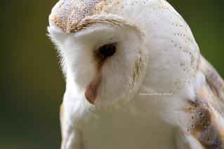 Sparky The Barn Owl