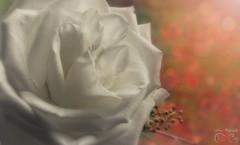 Pure Beauty ~~ ( ~ ~ Sharon ~~ ) Tags: love silence pure whiterose