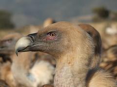 Retrato (Patataasada) Tags: naturaleza bird nature animal perfil retrato vultures ave vulture buitre leonado buitres buitrera a3b