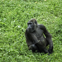 Mountain Gorilla (Nidreas) Tags: nature animals vegan gorilla organic primate rare protect seep wilhelma greengrass mountaingorilla eatinggrass lonelygorilla groupintegration