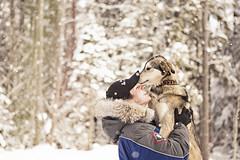 So sweet... (miss_n_arrow) Tags: dog snow dogs up kiana husky canine huskies l sled alaskan alaskans
