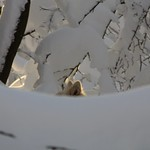 Picur in deep snow thumbnail