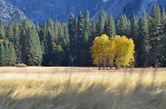 Yosemite Valley (Iyhon Chiu) Tags: california autumn tree nature yosemite yosemitenationalpark   yosemitevalley     2013  d7000