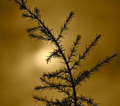 Aiguilles de lune (JDAMI) Tags: france silhouette lune nikon 80 nuit amiens picardie spia aiguilles somme pleinelune d600 cdre conifre