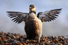 The Bird and the Bystanders (Alan MacKenzie) Tags: rescue bird beach brighton oil storms sick oilslick rspca guillemot