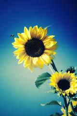 From September (4) (Vlachbild) Tags: flowers nature animal natur bee sunflower environment naturephotography outdoorphotography insectsarachnids minoltaafreflex500f8 sonyslta99