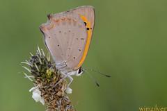 Kleine Vuurvlinder - Small coper - Lycaena phlaeas (wimzilver) Tags: macro butterfly 7d alblasserwaard vlinder alblasserdam macrofotografie kleinevuurvlinder smallcoper hoekzoeker wimzilver canon100mmf28lismacro seaghullhoekzoeker