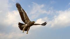 Steppe Eagle (Dr. Farhan) Tags: eagle steppe nikond600 nikkor70200mmf28