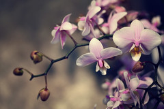 """""""We live in the present, we dream of the future and we learn eternal truths from the past."""" (stjernesol) Tags: orchid dof purple pale precious lovely seenfromabove theyareallsodifferent idoloveorchids thispictureitookinaflowershop justlovedhowitturnedout"""