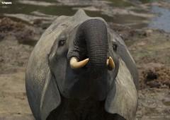 elephant 32 (remi.pognante) Tags: dfense mammifre trompe lphant ivoire pachyderme