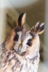 Great Horned Owl - Amerikaanse oehoe (RunningRalph) Tags: bird zoo funny nederland owl vogel greathornedowl oehoe dierentuin gelderland beesd uil funnybird depaay amerikaanseoehoe