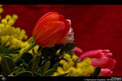 740_D7B7763_bis_fiori (Vater_fotografo) Tags: nikon fiori fiore sicilia tulipano tulipani ciambra nikonclubit salvatoreciambra clubitnikon vaterfotografo