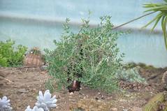 Mestoklema_tuberosum_6829SJ5_070314_1 (Enez35) Tags: aizoaceae mestoklema jardinexotiquederoscoff jardinexotiquebotaniquederoscoff