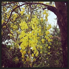 ต้นราชพฤกษ์ (คูน) ดอกไม้ประจำชาติไทย Cassia Fistula Plant, Thai national flower.