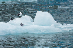 _MG_5175a (markbyzewski) Tags: bird alaska ugly iceberg tracyarm northsawyerglacier
