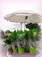 C'est le 1er mai...... (LILI 296 ...) Tags: france pot parasol tradition fte muguet hautegaronne midipyrnes lunion canonpowershotg16