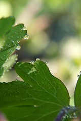 Tropfen im Morgenlicht  / droplet in the morninglight (Ellenore56) Tags: light sun sunlight inspiration color detail reflection green nature water garden botanical licht morninglight photo drops flora wasser foto emotion magic natur perspective adorable drop h2o april droplet imagination grn moment waterdrops blatt magical sonne bltter farbe reflexion garten perspektive fascinating reflektion wassertropfen tropfen zauberhaft augenblick waterdroplet botanik enchanting morgenlicht trpfchen faszination sonnenlicht pflanzenwelt bezaubernd columbineleaf aquilegialeaf ellenore56 sonyslta77 akeleibltter tropfenimmorgenlicht 16042014 dropletinthemorninglight laubderakelei leavesoftheaquilegia leavesofthecolumbine