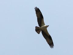 osprey (quadceratops) Tags: bird nature river island wildlife massachusetts plum national raptor parker osprey newburyport refuge hawkflight 14hawks8owls 14h8o top50hawk