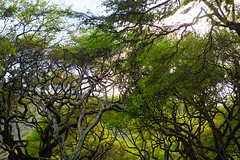 Hanauma Bay Monkeynut Trees (disneymike) Tags: travel trees tree hawaii nikon oahu hanaumabay nikkor naturepreserve d4 hanaumabaynaturepreserve 2470mmf28g monkeynuttree monkeynuttrees