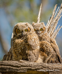 Siblings.  Day of Fledge. (Amy Hudechek Photography) Tags: colorado lakes connected greathornedowl grandjunction audubon babyowl owlet fledge fledged amyhudechek