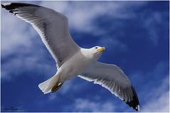 Seagull. Gabbiano reale zampegialle. Isola d'Elba (mariafancello) Tags: uccello gabbianorealemediterraneo gabbianorealezampegialle larusmichahellisisoladelbaitaia