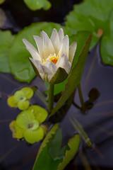 IMG_5745 (wegstudio) Tags: flower nature thailand lotus details chiangmai oldcity lotusflower