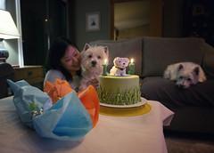 teenager (paulh192) Tags: birthday family dog cute home cake nikon westie westhighlandwhiteterrier celebrate