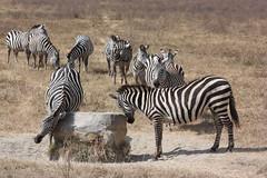 Zebra Scratching Rock
