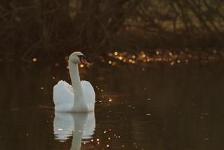 Mute swan in the evening sun