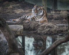 Tiger Reflection HC9Q6772-1 (rodwey2004) Tags: animals tigers bigcats zsl zoologicalsocietyoflondon