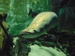 Arapaima (TheApexMan98) Tags: ohio aquarium newport freshwater arapaima