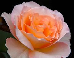 A Bit Peachy (Jocey K) Tags: flowers newzealand roses southisland centralotago queenstown rosegarden queenstowngardens tripdownsouth
